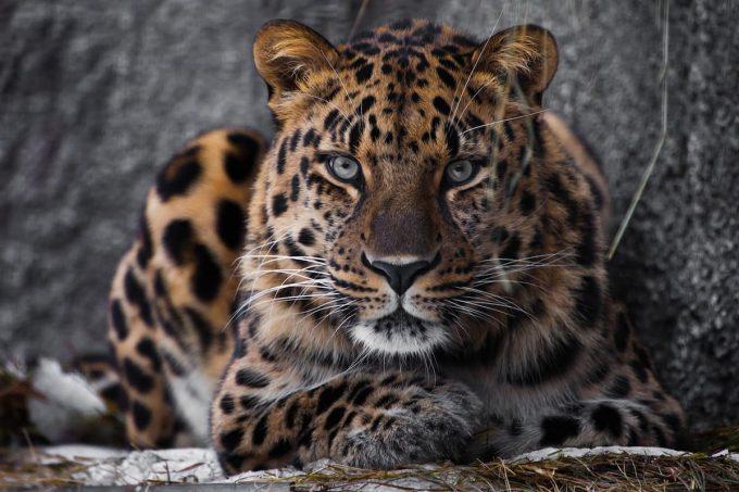 Animali in via di estinzione: Leopardo dell'amur