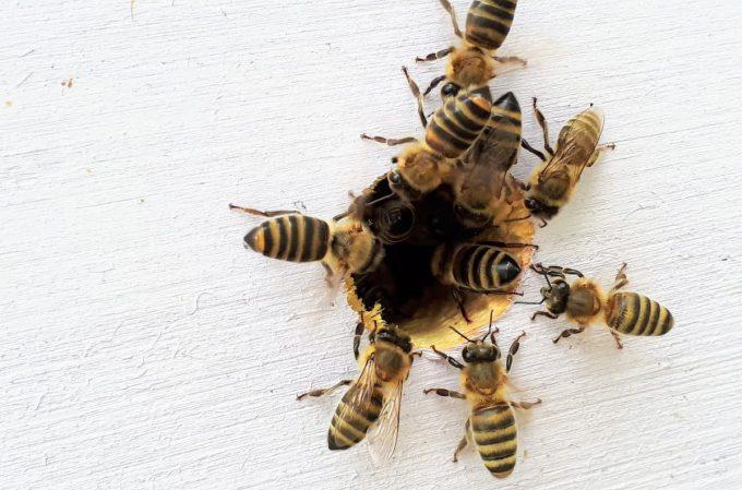 nutrire le api