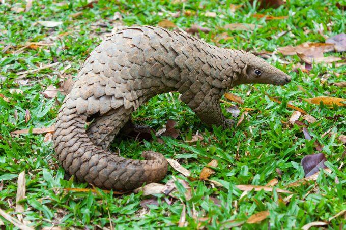 Animali in via di estinzione: pangolino del Borneo