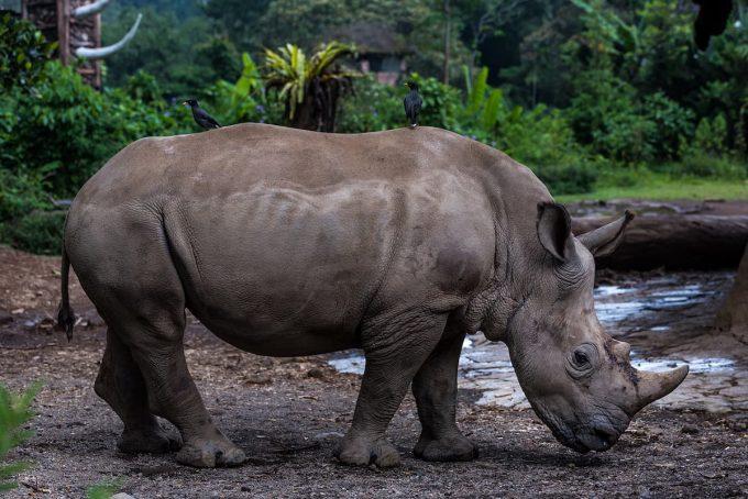 Animali in via di estinzione: rinoceronte di giava