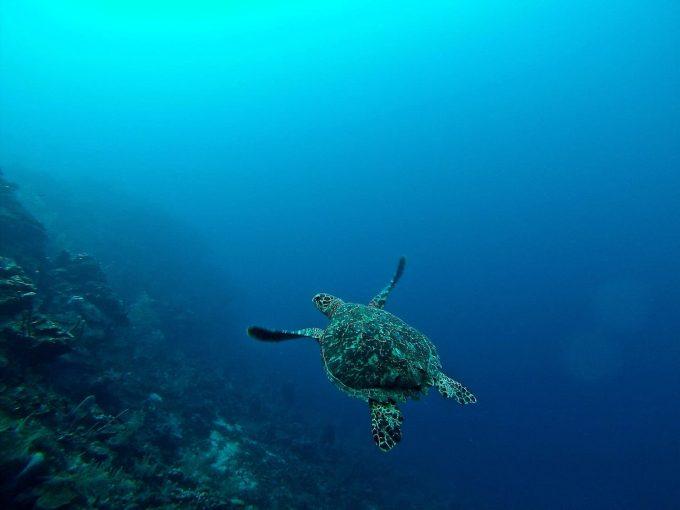 tartaruga oceano